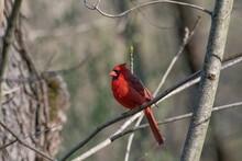 Shot Of The Beautiful Red Northern Cardinal Bird