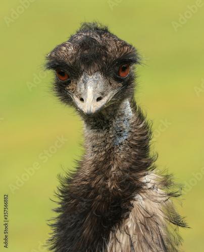 Fotografie, Tablou Close up of an emu (Dromaius novaehollandiae), a native Australian flightless bird