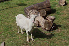 Goat On A Farmland In The Netherlands As Domesic Mammal
