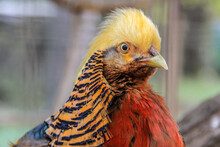 Bright Plumage Of The Golden Pheasant (Chrysolophus Pictus, Or Chinese Pheasant, And Rainbow Pheasant) Head Close Up. Birds Of Asia.