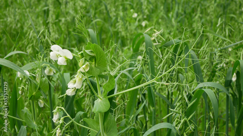Fotografering Peas and oats detail green fertilization mulch field soil nutrition for crops gr