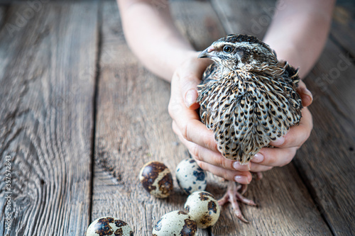 Canvastavla Rustic background with a quail in female hands and quail eggs beside