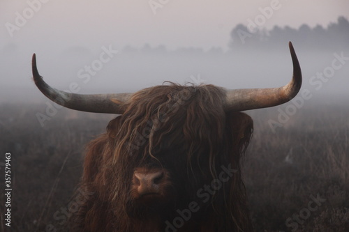 The head of a Scottish highlander up close in dense fog. Canvas Print