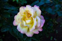 Rose Tea-hybrid Gloria Day. A ...