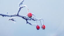 Frost-covered Rose Hip Branch ...