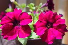 Petunia. Two Bright Juicy Dark Pink Flowers. Beautiful Summer Flower Landscape