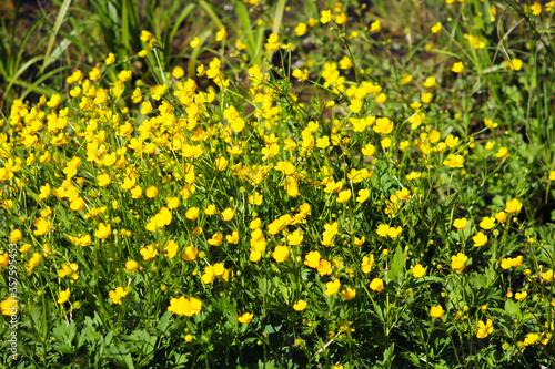 Photo Ranunculus acris (meadow buttercup, tall buttercup, common buttercup, giant butt