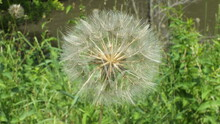 Yellow Salsify Seed Head Close-up As Background.  Flora Of Ontario, Canada.