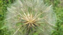 Yellow Salsify Seed Head Close...