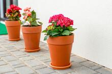 Hydrangea Flower In A Clay Pot...