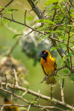 African Southern Masked Weaver (Ploceus Velatus) Perched On A Branch. Yellow Birds With Black Head With Red Eye, Kibale Forest National Park, Uganda.