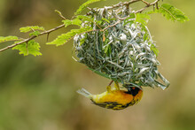 African Southern Masked Weaver (Ploceus Velatus) Building A Green Grass Nest. Yellow Birds With Black Head With Red Eye, Kibale Forest National Park, Uganda.