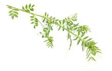 Lentil Plant Or Lens Culinaris...