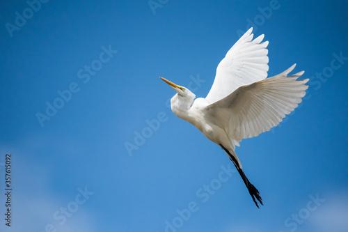 Photo A Great Egret takes flight at Ashbridges Bay Park in Toronto, Ontario