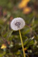 Dandelion Seed Head In The Grass