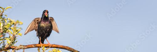 Common Starling / European Starling (Sturnus vulgaris) singing perched on a thin Canvas Print