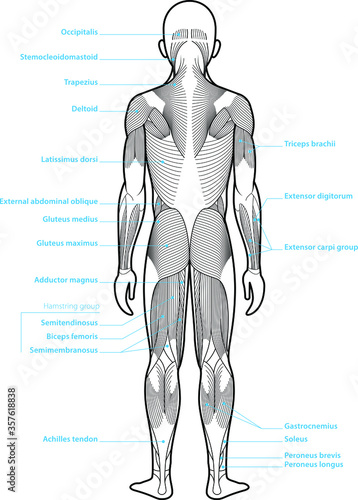 Fotomural Stylized anatomy diagram showing major muscle groups