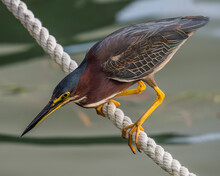 Green Heron Looking And Catchi...