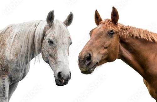 Fototapeta  two horses on a white background obraz