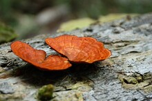 Closeup Shot Of The Orange Stereum Hirsutum Mushrooms Growing On A Tree