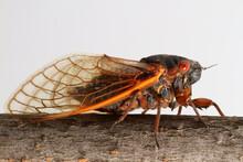 A Brood-V Cicada (Magicicada S...