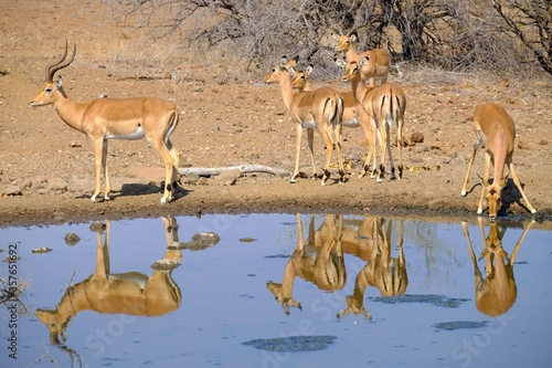 Beautiful shot of antelopes drinking water from a lake in safari