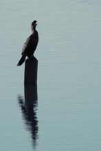 Silhouette Of A Black Cormoran...