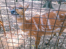 Sitatunga Or Marshbuck Animal At The Place Of The Zoo In Jakarta