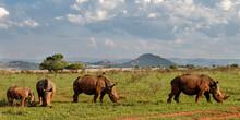 Family Of White Rhinoceros Eat...