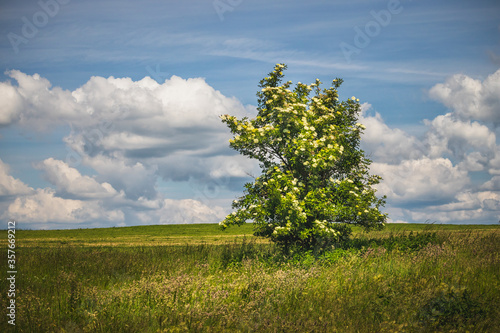 Fotomural flowering elderberry bush in the meadow, in the background blue sky with white c