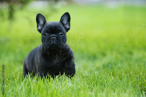 Foto cachorro bulldog frances frenchie french bulldog