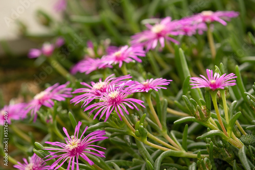 Leinwand Poster Pink Delosperma Delosperma cooperi flower with long thin petals.