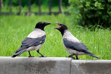 Two Hooded Crows Are Fighting ...