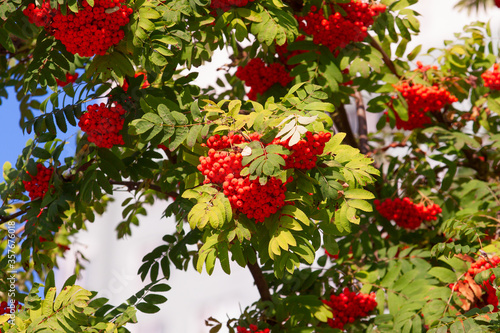 clusters of ripe rowan berries on a branch among foliage against a sky Canvas Print