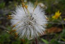 Macro Photo Of Dandelion-like ...