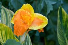 Exotic Orange And Yellow Flower, Canna Pretoria