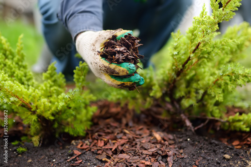 Fotografiet Gardener mulching with pine bark juniper plants in the yard