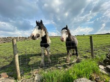 Two Shire Horses Looking Over ...