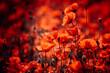 Rote Mohnblumen stehen am Wegesrand
