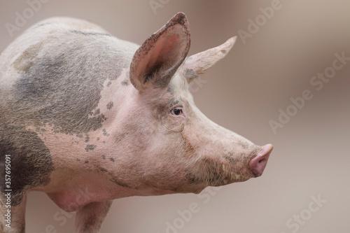 big domestic pig profile view Fotobehang