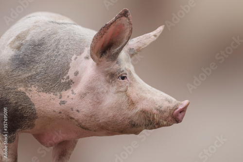 big domestic pig profile view Canvas-taulu