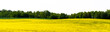 Leinwandbild Motiv Beautiful fields of yellow rape and green wheat. Growing seed crops. Rapeseed oil. Banner for landscape site with forest on an isolated background. On a sunny day, in Belarus