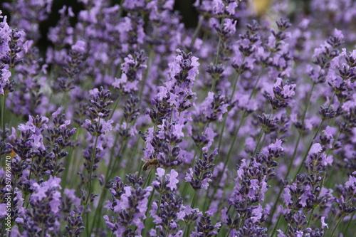 lawenda pszczola natura rosliny kwiaty łaka pole kwiatowe - 357698470