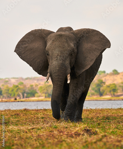 Big elephant walking in an african park