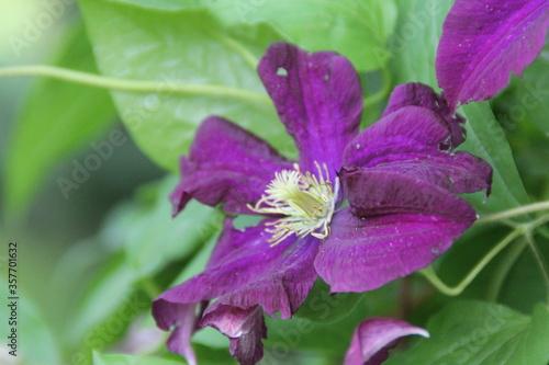 Fototapeta klematis fiolet kwiat natura płatki pnacze obraz