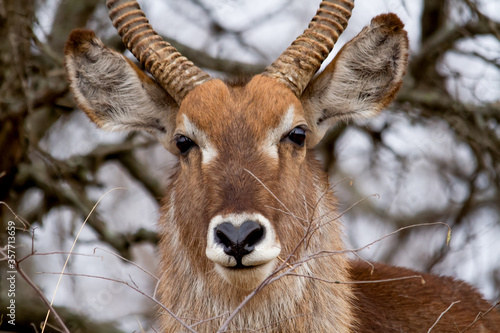 Photo Male Kudu antelope among bushes  in the Kruger National Park in South Africa