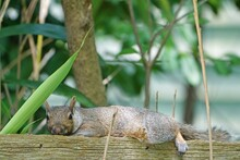 A Furry Gray Squirrel Planking By Stretching Out Flat Belly Down On A Garden Fence