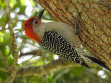 Red-bellied Woodpecker In Florida