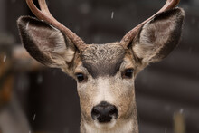 Mule Deer (Odocoileus Hemionus...