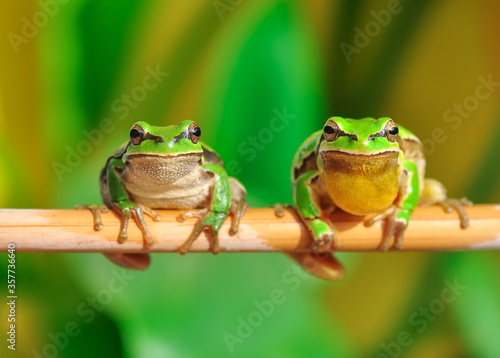 Beautiful Europaean Tree frog Hyla arborea Canvas Print